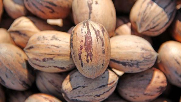 Ořechy – PEKANY
